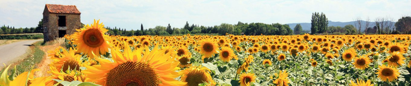 France - Mornas - Tournesols